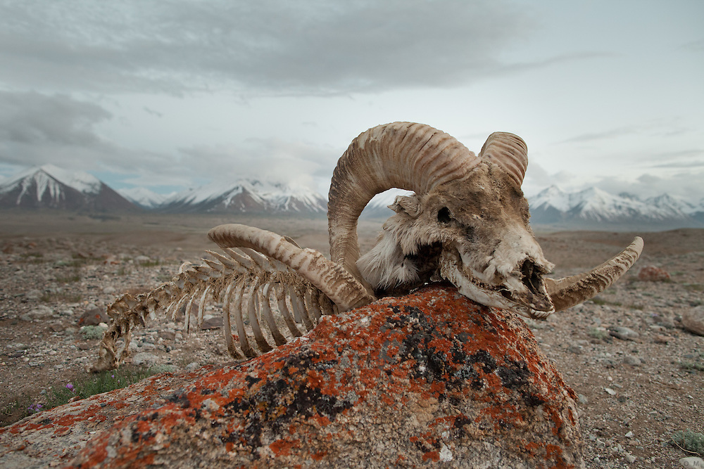 The skull of a Marco Polo sheep that was attacked and killed by wolves in winter...Trekking through the high altitude plateau of the Little Pamir mountains (average 4200 meters) , where the Afghan Kyrgyz community live all year, on the borders of China, Tajikistan and Pakistan.