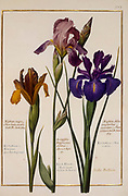 various Irises a 17th century hand painted on Parchment botany study of a from the Jardin du Roi botanical Florilegium of Prince Eugene of Savoy collection, Paris c. 1670 artist: Nicolas Robert