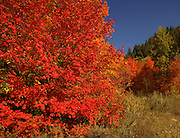 Red Maples are the first color of the Fall to come on. The Snake River Canyon provides the best Reds and Oranges in the area that is dominated by Yellow Aspens. 2011 Autumn.