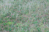 Meadow with French-Honeysuckle (Hedysarum coronarium), San Marino.