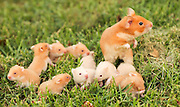 golden hamster or Syrian hamster, (Mesocricetus auratus) with her young litter on the lawn