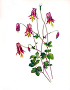 The Wild Columbine. (Aquilegia canadensis), the Canadian or Canada columbine, eastern red columbine, or wild columbine, is a species of flowering plant in the buttercup family Ranunculaceae. It is an herbaceous perennial native to woodland and rocky slopes in eastern North America, prized for its red and yellow flowers. It readily hybridizes with other species in the genus Aquilegia.   from the book Beautiful wild flowers of America : from original water-color drawings after nature by  Isaac Sprague, 1811-1895 Published by Troy, Nims and Knights in New York in 1884 With Descriptive text by Rev. A. B. HERVEY