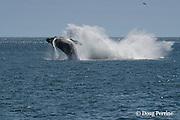 humpback whale, Megaptera novaeangliae, breaching, Grand Manan Basin, Bay of Fundy, New Brunswick, Canada ( North Atlantic Ocean )