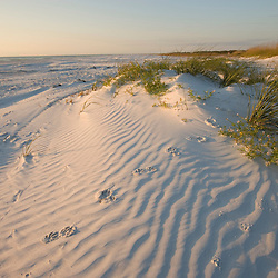 Raccoon tracks on the dune patterns on North Beach at Fort De Soto Park in Pinellas County, Florida.