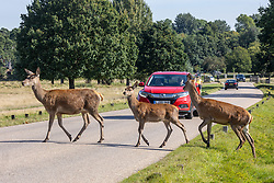 Licensed to London News Pictures. 21/09/2021. Surrey, UK.Deer cross the road in the sunshine in Richmond Park, south-west London today as weather forecasters predict warm autumnal weather for the next 7 days with highs of 24c.  Photo credit: Alex Lentati/LNP