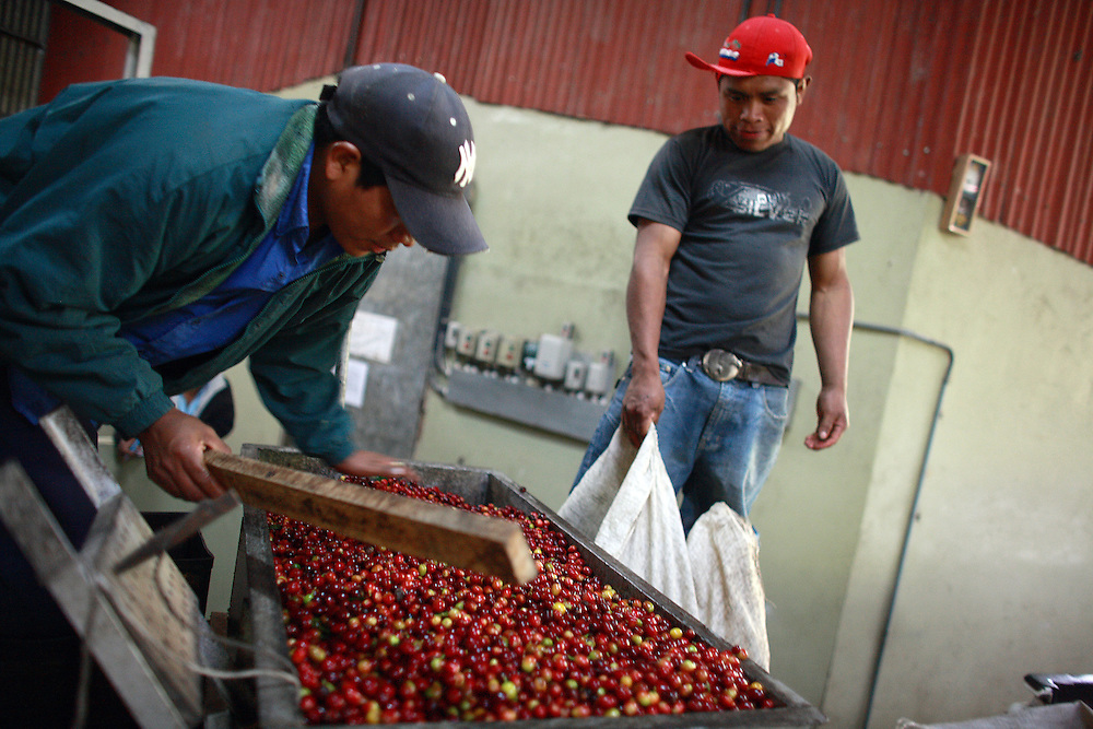 Workers pour freshly picked coffee fruit into a measuring tank at Kotowa Coffee in Boquete, Panama.