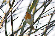 Robin among tree branches, Oxfordshire, United Kingdom.