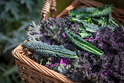 Basket of mixed harvested kale including 'Cavolo Nero' syn. 'Nero di Toscana'and 'Red Bor'. Brassica oleracea