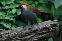 Red-tailed Laughingthrush, Trochalopteron milnei, Baihualing, Gaoligongshan, Yunnan, China