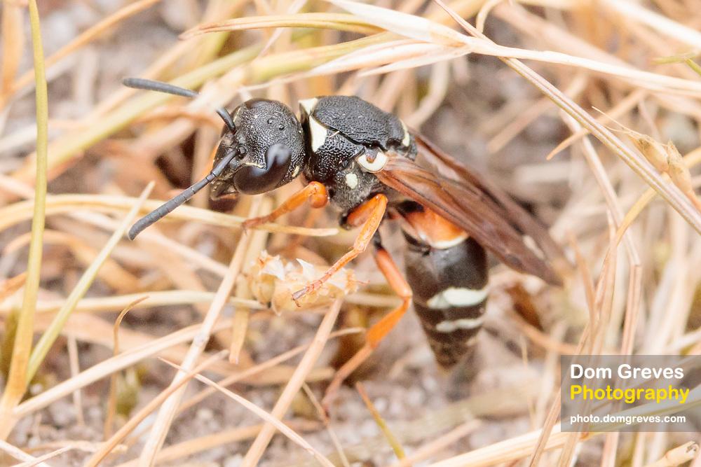 Purbeck mason wasp (Pseudepipona herrichii). Dorset, UK.