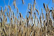 Nederland, Overasselt, 23-7-2003..Rogge, landbouw, voedselproductie, graansoort, oogst..Foto: Flip Franssen/Hollandse Hoogte