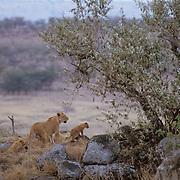 African Lion, (Panthera leo) Lioness and cubs scoping plains. Masai Mara Game Reserve. Kenya. Africa.