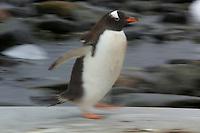 An adult Gentoo Penguin (Pygoscelis papua) running on Pleneau Island.