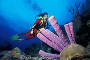 purple tube sponges, Aplysina archeri, <br /> in Tongue of the Ocean, off Nassau,<br /> New Providence Island<br /> Bahamas, ( Western Atlantic Ocean )  MR 180