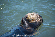 California sea otter, Enhydra lutris nereis ( threatened species ), eating a mussel, Elkhorn Slough, Moss Landing, California, United States ( Eastern Pacific )