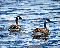 Pair of Canada Geese in the wetlands of the Arapaho National Wildlife Refuge. Image taken with a Nikon D300 camera and 80-400 mm VR lens (ISO 200, 400 mm, f/8, 1/200 sec).
