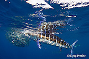 striped marlin, Kajikia audax (formerly Tetrapturus audax ), swims off with sardine in mouth, while feeding on baitball of sardines or pilchards, Sardinops sagax, off Baja California, Mexico ( Eastern Pacific Ocean ) #3 in sequence of 3 images