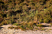 Chateau Pech-Redon. La Clape. Languedoc. Garrigue undergrowth vegetation with bushes and herbs. France. Europe.