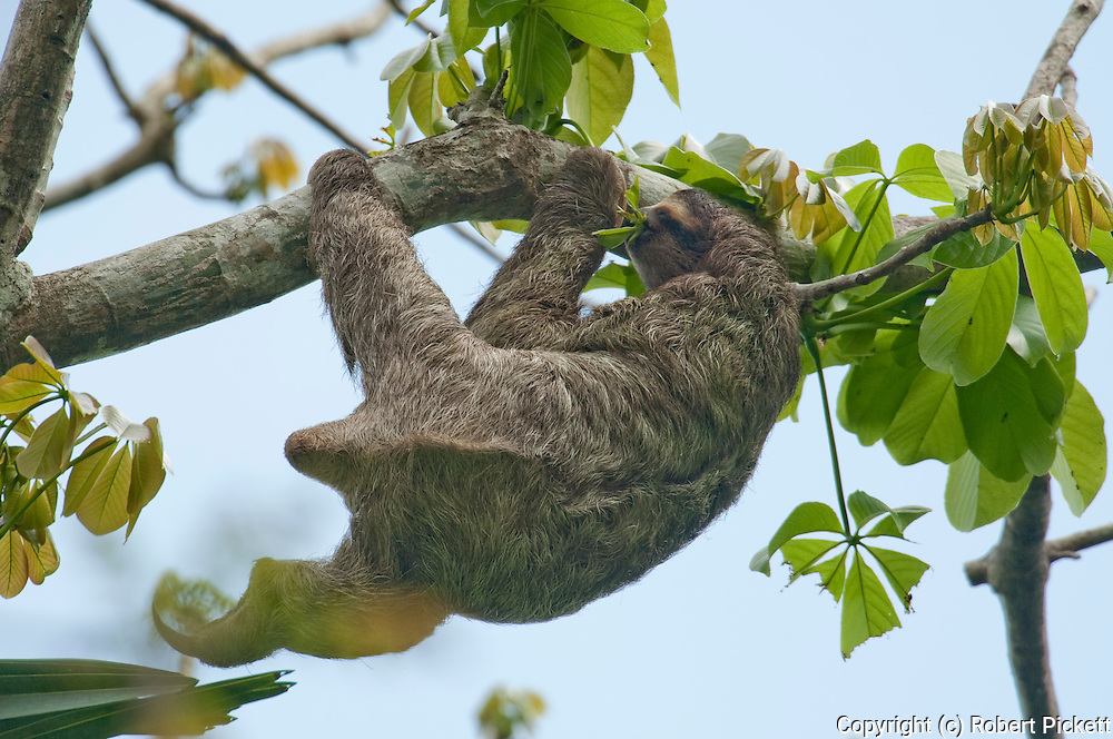 Brown Throated Sloth, Bradypus variegatus, femalePanama, Central America, Gamboa Reserve, Parque Nacional Soberania, hanging in tree feeding on leaves, three-toed sloth, The guard hairs are very coarse and stiff, and overlie a much softer layer of dense under-fur. The hairs are unusual in lacking a central medulla, and have numerous microscopic cracks across their surfaces. These cracks are host to a number of commensal species of algae, including Rufusia pillicola, Dictyococcus bradypodis, and Chlorococcum choloepodis