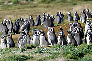 Magellanic penguins (Spheniscus magellanicus) on Carcass island on Sunday 4th February 2018.