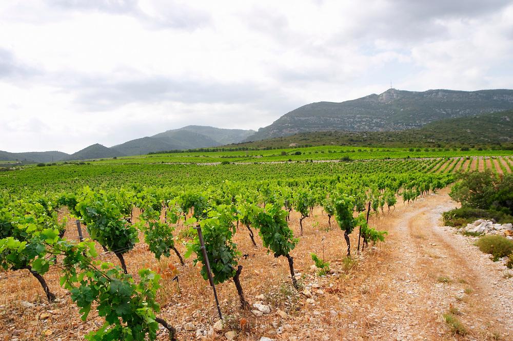 Domaine des Grecaux in St Jean de Fos. Montpeyroux. Languedoc. Calcareous limestone plateau called rendzine. Terroir soil. France. Europe. Vineyard. Mountains in the background. Soil with stones rocks. Calcareous limestone.