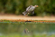 female house sparrow (Passer domesticus). Photographed in Israel in July