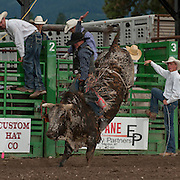 Brandon Wallentine rides Red Eye Rodeos Montana Livestock Pretty Boy for 81 points in the long round at the 2016 Darby MT EPB  Josh Homer photo.  Photo credit must be given on all uses.