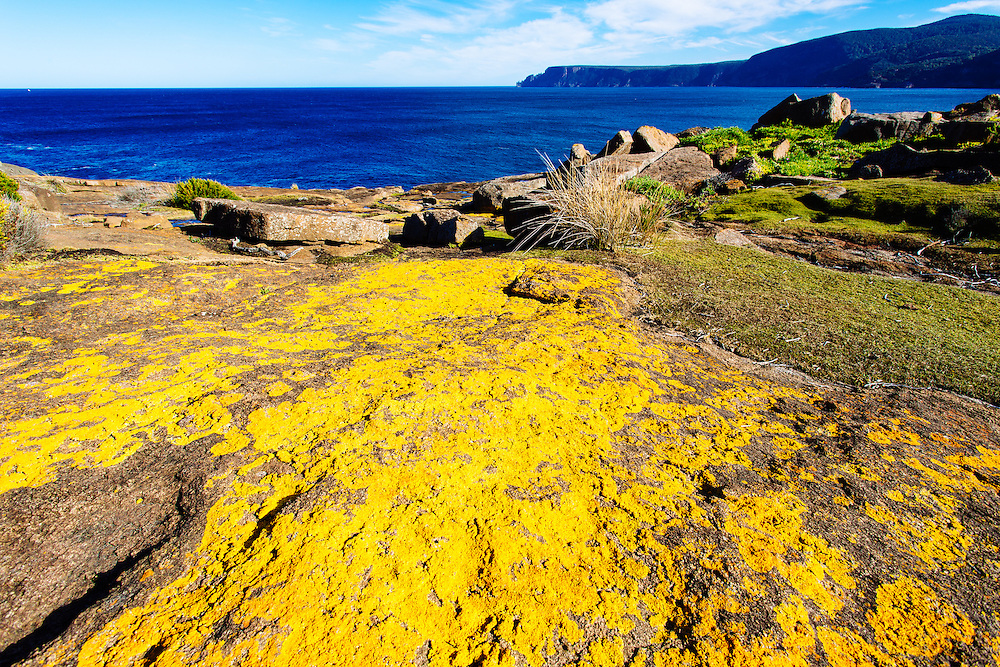 Bright yellow lichen growing on the exposed rock next to the sea in Tasman National Park.