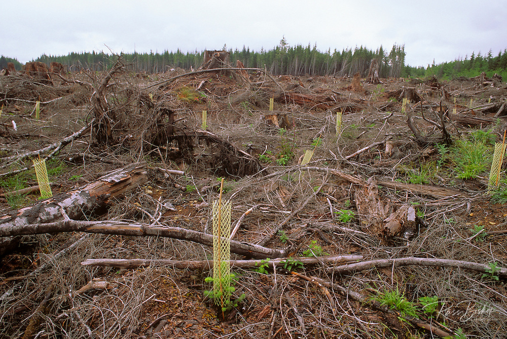 Sitka spruce seeding in a clear cut forest adjacent to Olympic National Park, Olympic Peninsula, Washington USA