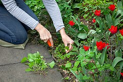 Weeding a spring border with a hand fork