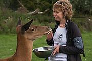Red Deer (Cervus elaphus)<br /> Secret World Wildlife Rescue Center<br /> Somerset<br /> England<br /> UK<br /> captive