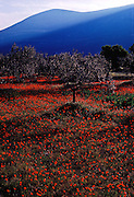 Poppy fields and olive trees in the Peloponnesus in southern Greece.