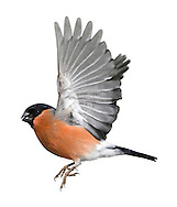 Bullfinch Pyrrhula pyrrhula - Male. L 16-17cm. Unobtrusive finch whose call and white rump are distinctive. Bill is stubby and dark. Sexes are separable. Adult male has a rosy-pink face, breast and belly. Back and nape are blue-grey and cap and tail are black. Note white wingbar on otherwise black wings. Adult female is similar but duller. Juvenile is similar to adult female but head is uniformly buffish brown. Voice Utters a soft piping call; pair sometimes duets. Song is quiet and seldom heard. Status Fairly common resident of woodlands, hedgerows and mature gardens.