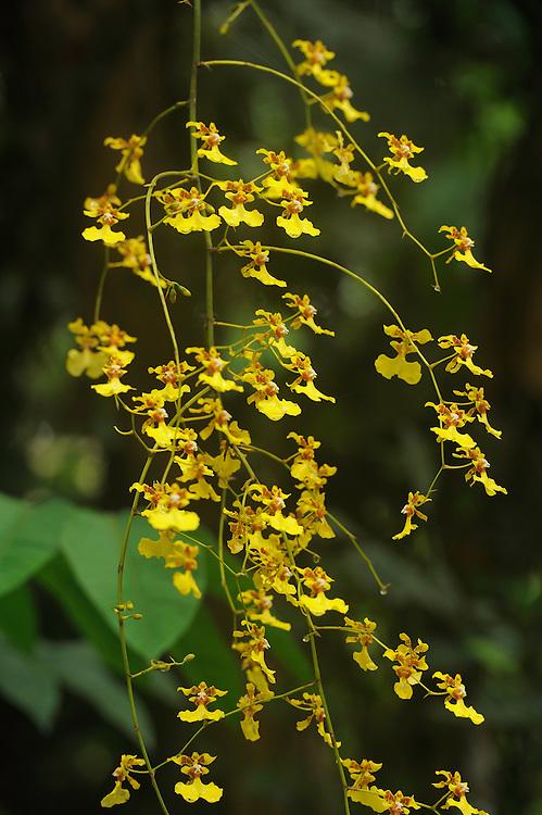 Tree orchids (Orchidaceae sp.), Maquipucuna reserve, cloud forest area, Ecuador