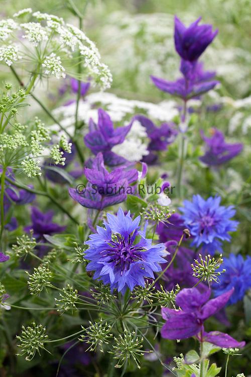 Centaurea cyanus, Ammi majus and Salvia viridis