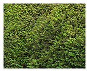 Nature intimate of spongy, soft green moss  carpet in temperate rainforest