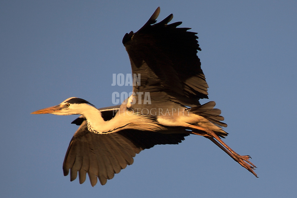 ESPAÑA / ANDALUCIA / HUELVA .Garza en el Parque Nacional de Doñana..©JOAN COSTA..