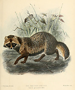 """The raccoon dog (Nyctereutes procyonoides [Here as Raccoon-like dog Canis procyonoides]) also known as the mangut (its Evenki name), tanuki or neoguri, is a canid indigenous to East Asia. It is the only extant species in the genus Nyctereutes. Despite its name, its closest relatives are the true foxes, and not the American raccoons. From the Book Dogs, Jackals, Wolves and Foxes A Monograph of The Canidae [from Latin, canis, """"dog"""") is a biological family of dog-like carnivorans. A member of this family is called a canid] By George Mivart, F.R.S. with woodcuts and 45 coloured plates drawn from nature by J. G. Keulemans and Hand-Coloured. Published by R. H. Porter, London, 1890"""