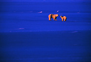 Landscape Wildlife Photographer and Nature Decor Photography by Randy Wells, Image of mother and cub polar bears (Ursus maritimus) walking on a snow field at sunset near Churchill in Manitoba