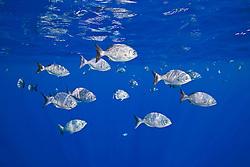 Schooling brown chub or grey sea chub, Kyphosus bigibbus, off Kona Coast, Big Island, Hawaii, Pacific Ocean