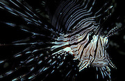 Front view of Indian Lionfish (Pterois Miles), South Ari Atol, Maldives