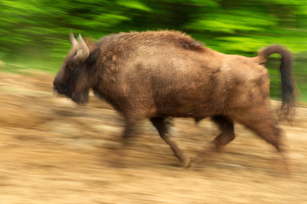 Release of European bison, Bison bonasus, in the Tarcu mountains nature reserve, Natura 2000 area, Southern Carpathians, Romania. The release was actioned by Rewilding Europe in May 2014.