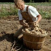 Picking organic potatoes in Vermont