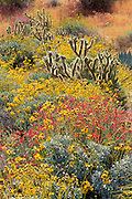 Morning light on Brittlebush, Cholla, and Chuparosa in Plum Canyon, Anza-Borrego Desert State Park, California