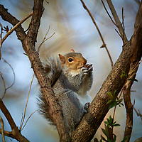 Squirrel with an acorn in the afternoon sun. Winter nature in New Jersey. Image taken with a Nikon 1 V1 camera, FT1 adapter, and 200 mm f/2 VR lens (ISO 100, 200 mm, f/2.5, 1/800 sec).