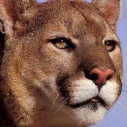 Mountain Lion or Cougar, (Felis concolor) Portrait of adult. Rocky mountains. Montana.  Captive Animal.
