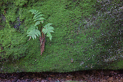 Several evergreen wood ferns (Dryopteris intermedia) grow on a mossy rock outcropping near the Minister Valley in the Allegheny National Forest in Warren County, Pennsylvania. The Allegheny Front was once part of a vast delta and layers of a hard, sandstone congolomerate were deposited. Between 250 and 320 million years ago, the Allegheny Front was lifted, forming hills and mountains. Over time, erosion exposed, split, or dislodged and moved the former sedimentary rock, resulting in large rock outcroppings.