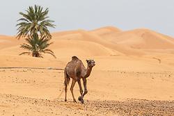 Camel walking across desert, Erg Chebbi, Saharan Desert, Morocco