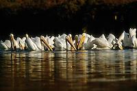 American white pellicans (Pelecanus erythrorhynchos) on lagoon at Moss Landing.