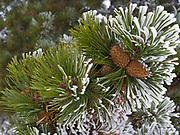 Rime Ice coating Lodgepole Pine boughs with serotinous cones, ridge northeast of Divide Mountain, Blackfeet Reservation, Montana.